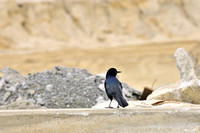 2011-10-14 Boat-Tailed Grackle